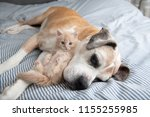 Stock photo young buff kitten hanging out with old boxer mix dog 1155255985