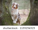 australian shepherd dog... | Shutterstock . vector #1155256525
