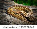 common crossed viper basking in ... | Shutterstock . vector #1155288565