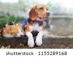 Stock photo beagle dog and brown cat lying together on the footpath outdoor in the park 1155289168