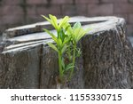 rebirth of the tree  a young...   Shutterstock . vector #1155330715