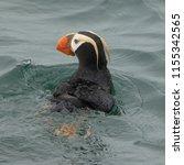 tufted penguin at resurrection... | Shutterstock . vector #1155342565