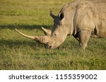 white rhinoceros with very long ... | Shutterstock . vector #1155359002
