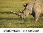 white rhinoceros with very long ... | Shutterstock . vector #1155359005