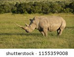 white rhino in late afternoon... | Shutterstock . vector #1155359008