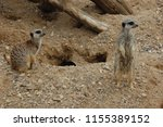 Two Meerkats Looking To The...