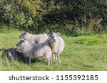 a sheep is walking with two... | Shutterstock . vector #1155392185