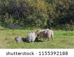 a sheep is walking with two... | Shutterstock . vector #1155392188