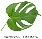 One Big Green Leaf Of Monstera...