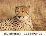 adult cheetah lies down in dry... | Shutterstock . vector #1155490402