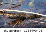 a crocodile prowls the river in ... | Shutterstock . vector #1155490405