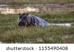 a hippo looks at the... | Shutterstock . vector #1155490408