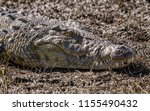 close up of the head of a... | Shutterstock . vector #1155490432