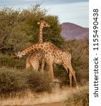 two young adult male giraffes... | Shutterstock . vector #1155490438