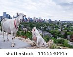 goats eating up weeds in a... | Shutterstock . vector #1155540445