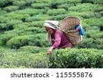 darjeeling  india   may 20 ... | Shutterstock . vector #115555876