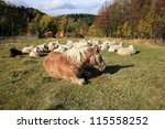 Haflinger horse is sunbathing in autumn sun and Skudde sheep is resting - the most primitive sheep breed in Europe. Funny farm during autumn. - stock photo