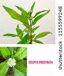 a branch of eclipta prostrata... | Shutterstock . vector #1155599248