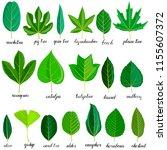 vector green leaves of... | Shutterstock .eps vector #1155607372