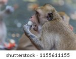 monkey or ape is the common... | Shutterstock . vector #1155611155