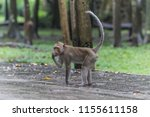 monkey or ape is the common... | Shutterstock . vector #1155611158