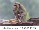 monkey or ape is the common... | Shutterstock . vector #1155611185