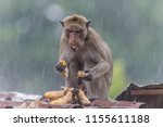 monkey or ape is the common... | Shutterstock . vector #1155611188