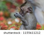 monkey or ape is the common... | Shutterstock . vector #1155611212