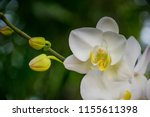 Orchids white orchids is...