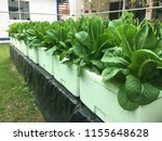 grow salad in greenhouse pure... | Shutterstock . vector #1155648628