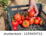 woman hand harvesting fresh ... | Shutterstock . vector #1155654712