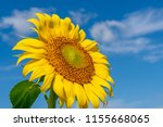 beautiful sunflowers in the... | Shutterstock . vector #1155668065