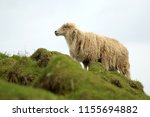 shaggy sheep portrait in the... | Shutterstock . vector #1155694882