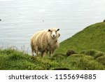 shaggy sheep portrait in the... | Shutterstock . vector #1155694885