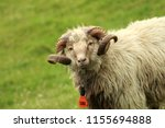 shaggy sheep portrait in the... | Shutterstock . vector #1155694888