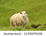 shaggy sheep portrait in the... | Shutterstock . vector #1155695428