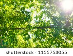 background of green leaves... | Shutterstock . vector #1155753055