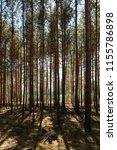 inside  pine tree forest  ... | Shutterstock . vector #1155786898