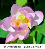 lotus flower  nelumbo nucifera  ... | Shutterstock . vector #1155857485
