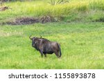 kissama   luanda   angola   12... | Shutterstock . vector #1155893878