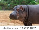 the common hippopotamus ... | Shutterstock . vector #1155911002