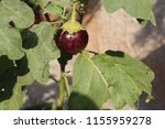 Small photo of Brinjal Or Eggplant Homegrown