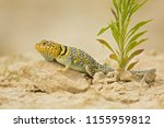 "the name ""collared lizard""... | Shutterstock . vector #1155959812"