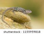 "the name ""collared lizard""... | Shutterstock . vector #1155959818"