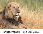 portrait of a old male lion's... | Shutterstock . vector #1156019368