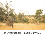 two lions sitting in the grass... | Shutterstock . vector #1156019422