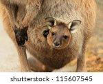 Baby Kangaroo  Joey  In Its...