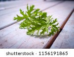a citronella plant leaves to... | Shutterstock . vector #1156191865