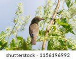 blyth's reed warbler sitting on ... | Shutterstock . vector #1156196992