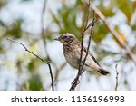 whinchat young sitting on bush. ... | Shutterstock . vector #1156196998